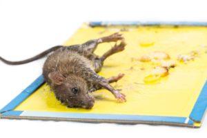 Ловим крысу дома