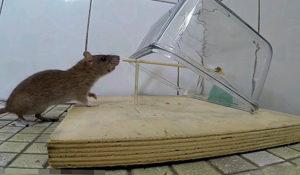Ловим крысу в домашних условиях