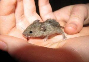 Как избавиться от мышей дома