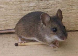Как прогнать мышь