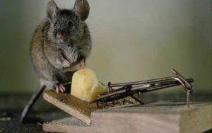 Как поймать крысу дома