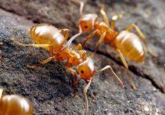Избавляемся от желтых муравьев в квартире навсегда