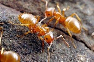 Желтые муравьи в квартире