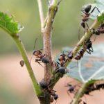 Реальные способы избавиться от садовых муравьев