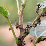 Как избавиться от муравьев в теплице - проверенные средства и методы
