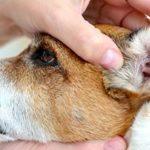 Ушной клещ у собак - профилактика и лечение