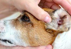 Ушной клещ у собак – профилактика и лечение